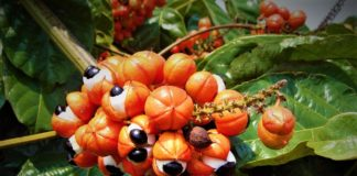 Guarana Scientific Nutritional Facts